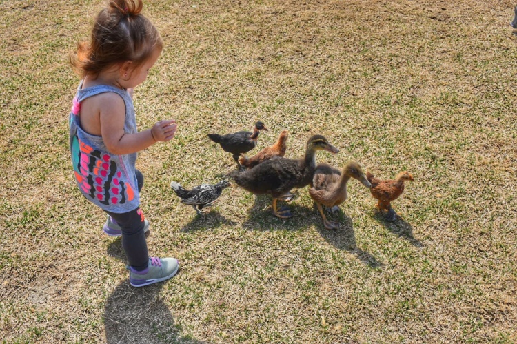 ducks-and-chickens-pets